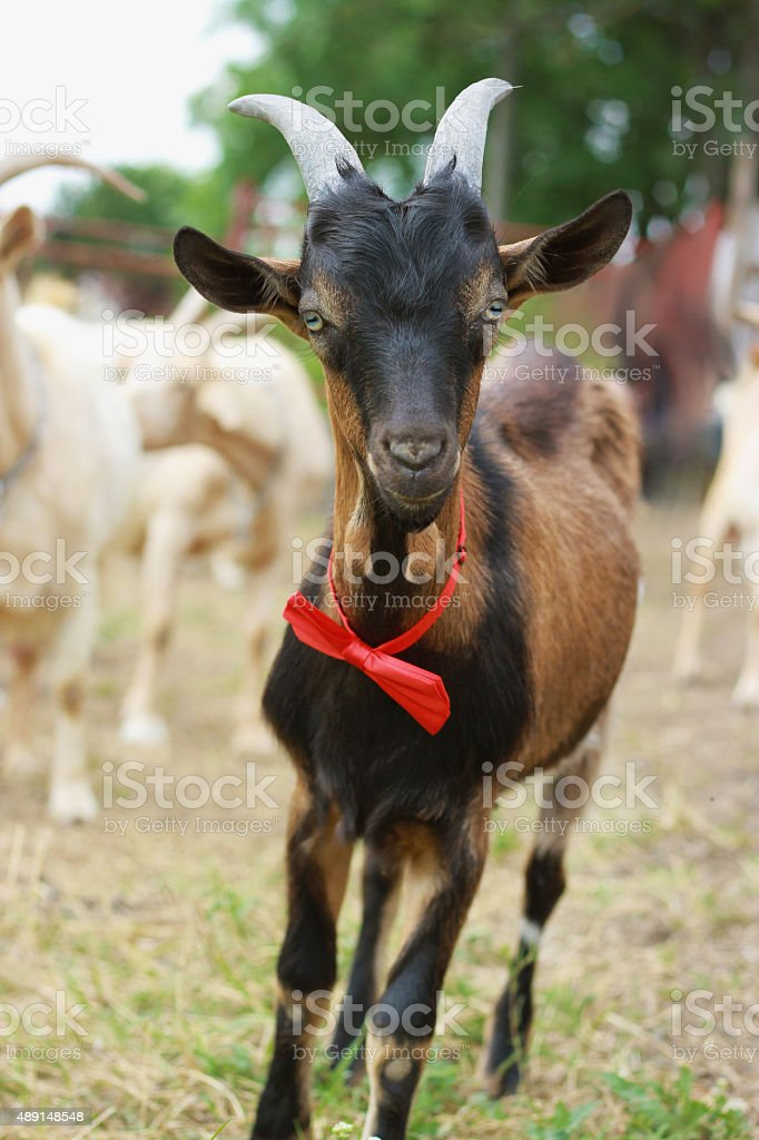 goat with red bow tie stock photo