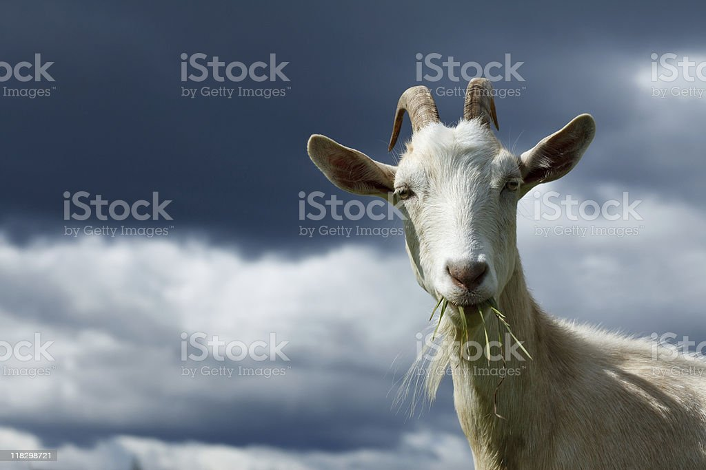 A goat with straws of grass in its mouth alongside clouds stock photo