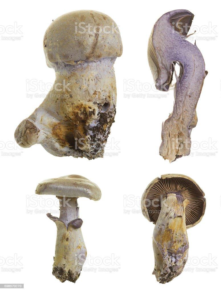 Goatcheese webcap, Cortinarius camphoratus isolated on white background stock photo