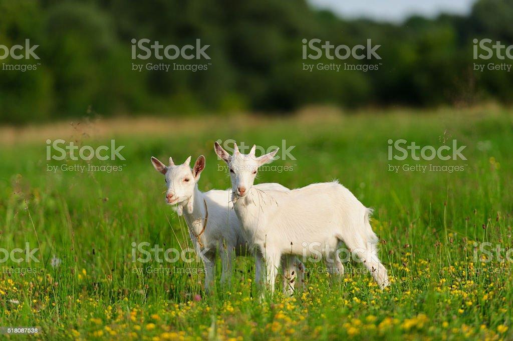 goatling stock photo