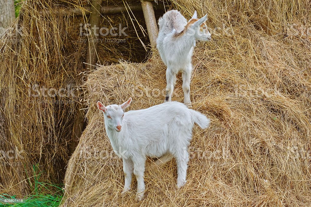 Goatlings on a Hay stock photo