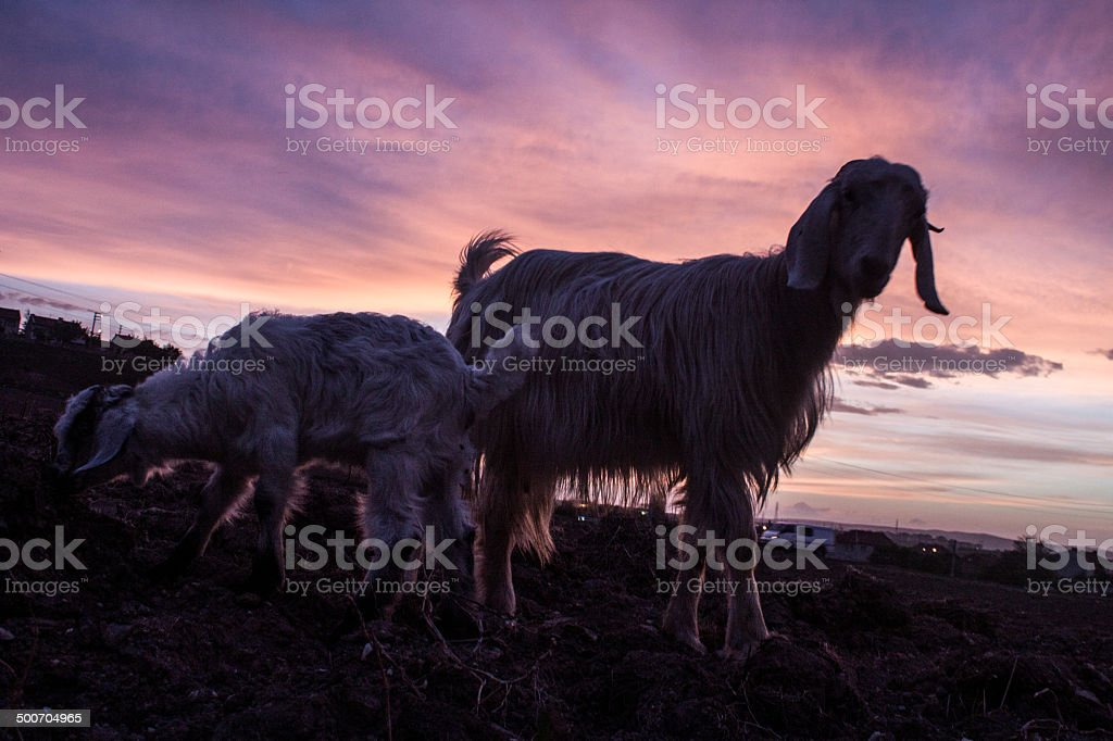 Goats and its baby on sunset royalty-free stock photo