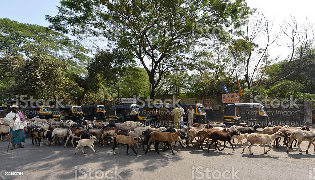 Goats and Lambs Moving Through Busy Road stock photo
