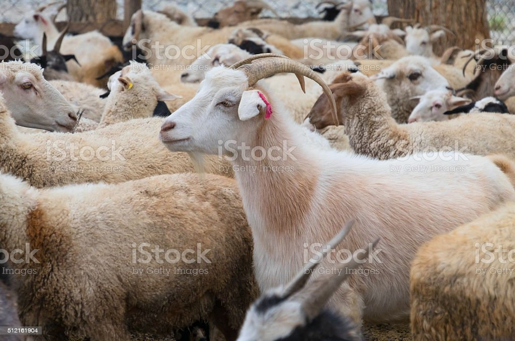 Goats and sheep stock photo