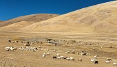 goats and sheeps herd in Indian Himalayas