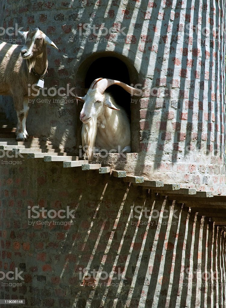 Goats and Stripes stock photo