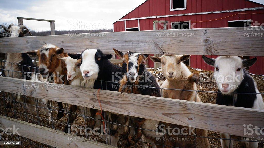 Goats at the Fence (Capra aegagrus hircus) stock photo