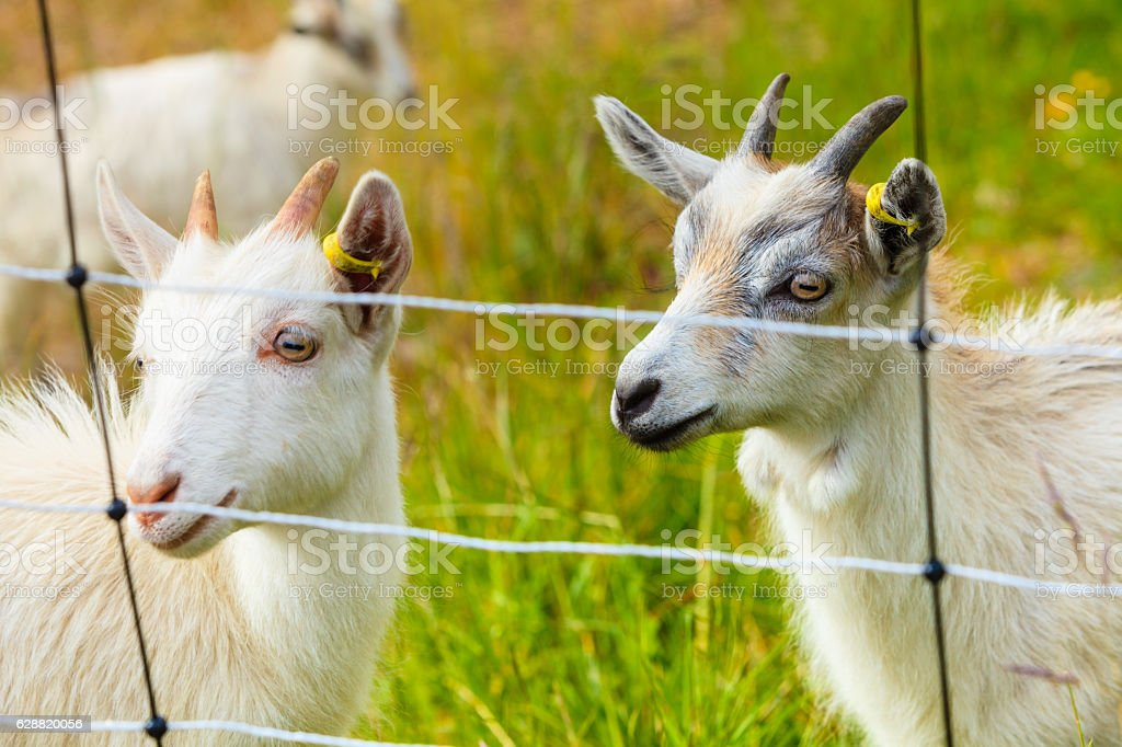 Goats eating grass on pasture stock photo