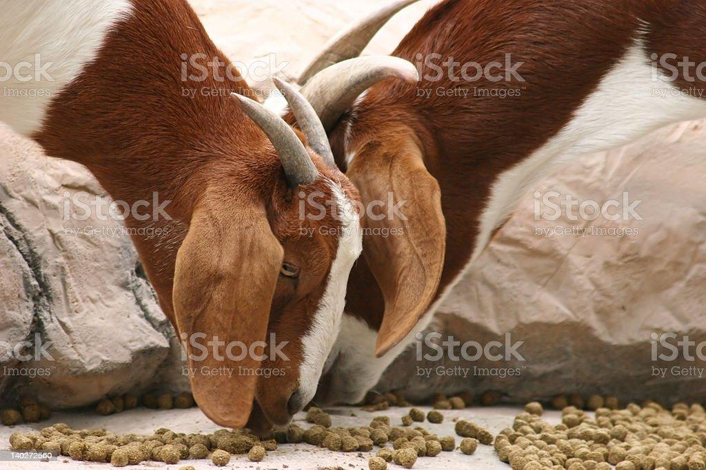 Cabras de comer foto de stock libre de derechos