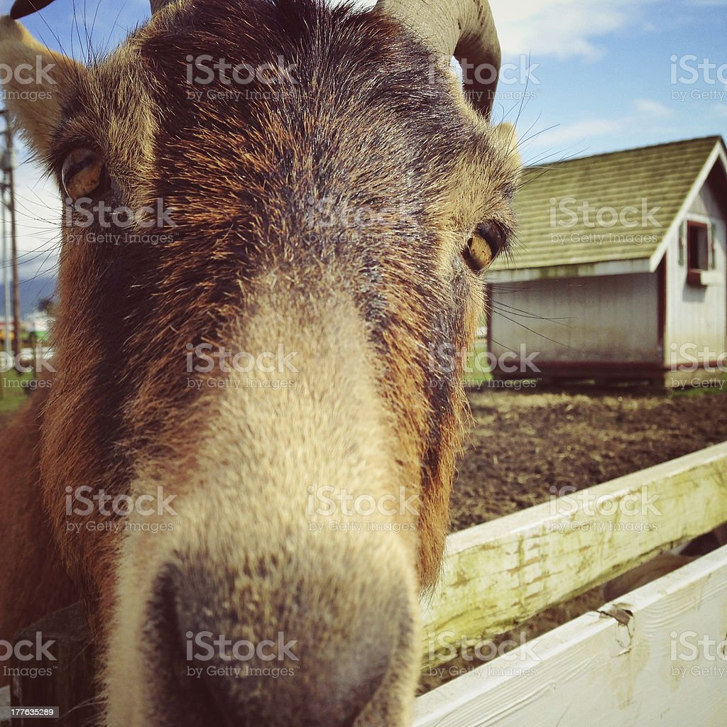 Goat's face royalty-free stock photo