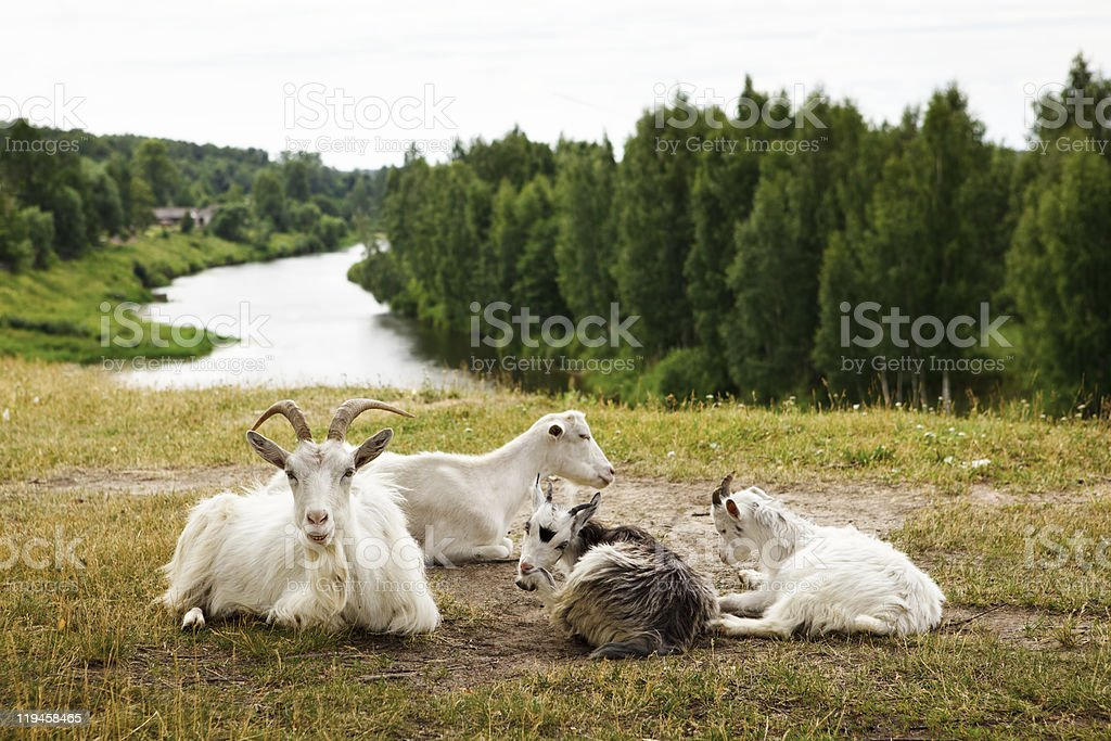 Goats family have a rest stock photo