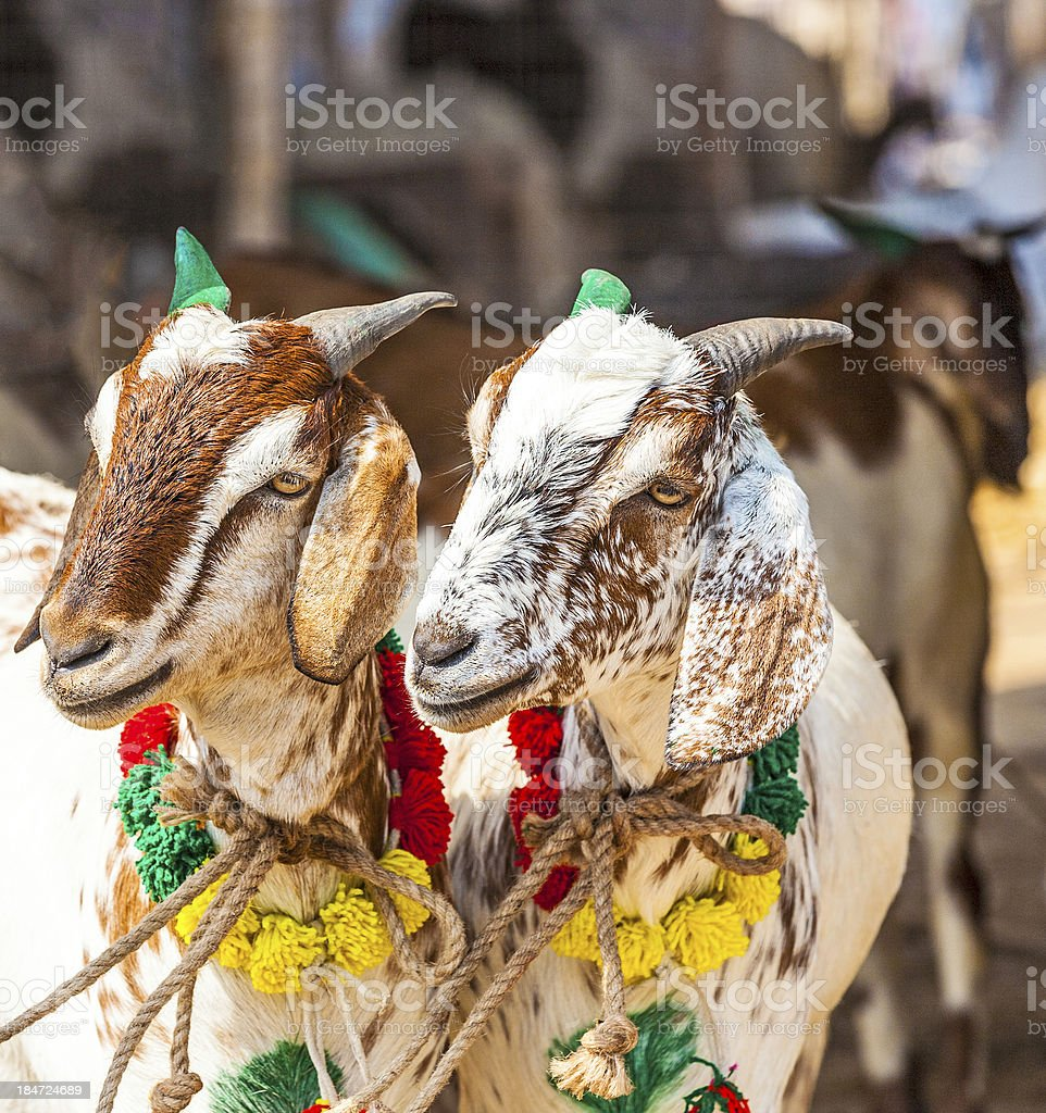goats for selling at the bazaar royalty-free stock photo