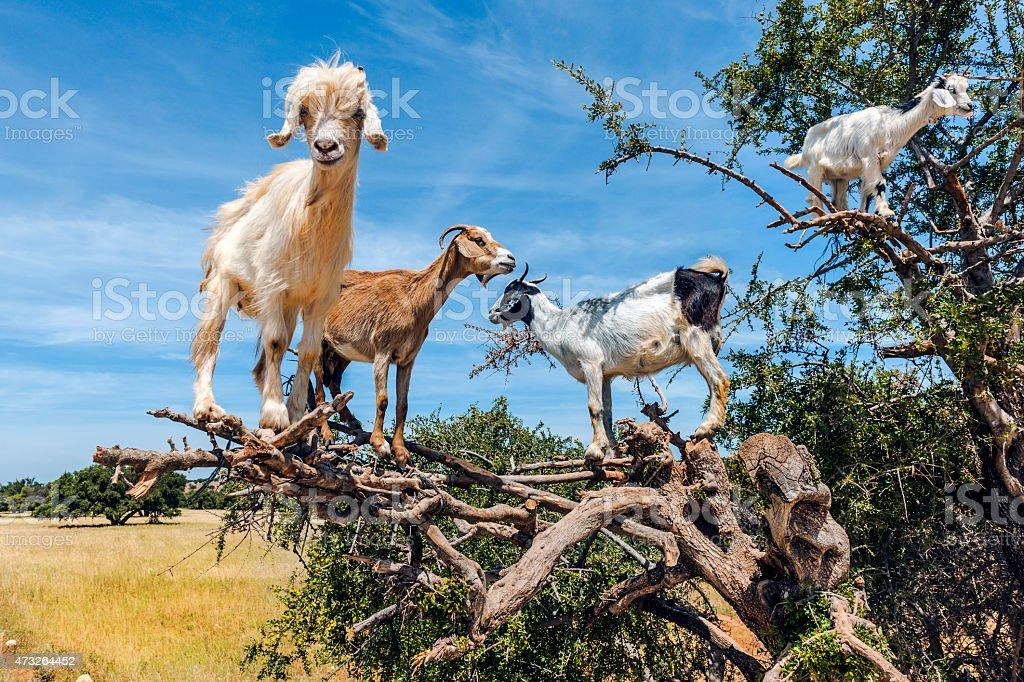 Goats graze on the Argan tree, Morocco North Africa stock photo