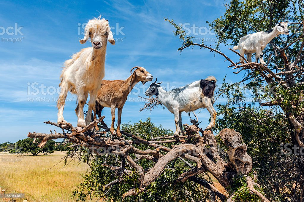 Goats graze on the Argan tree, Morocco North Africa stock photo