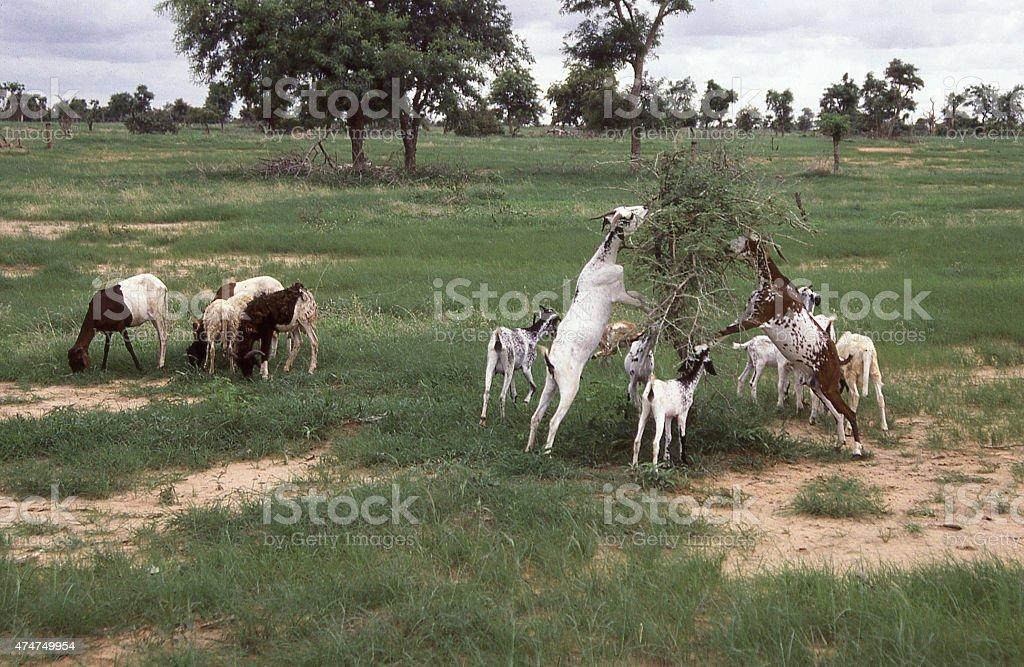 Goats Grazing thorn bushes Desertification Yatenga Burkina Faso West Africa stock photo
