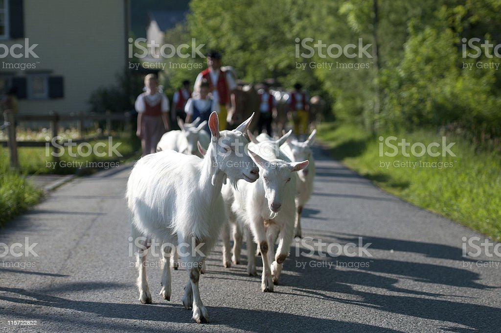 Goats in Appenzell stock photo
