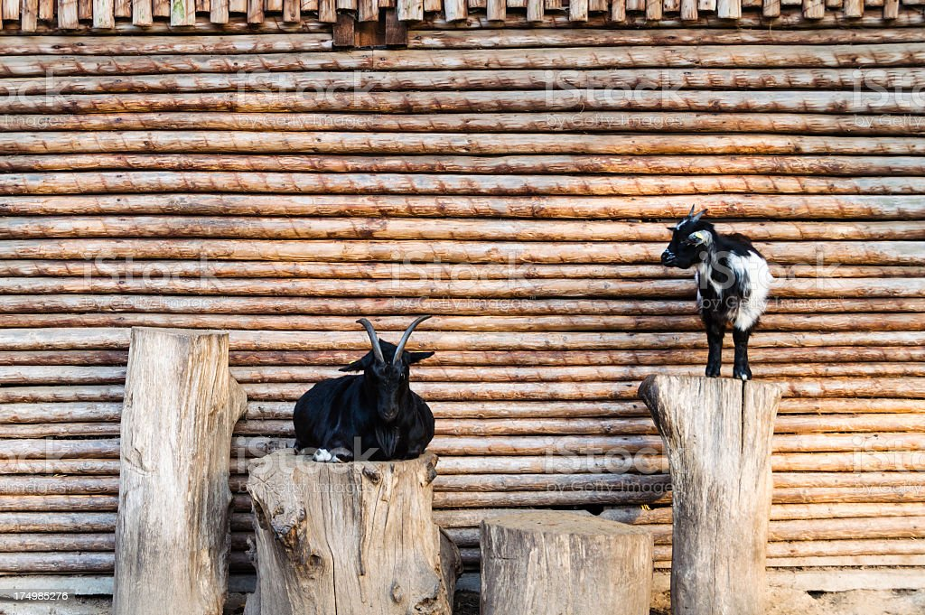 Goats in front of a wooden wall royalty-free stock photo