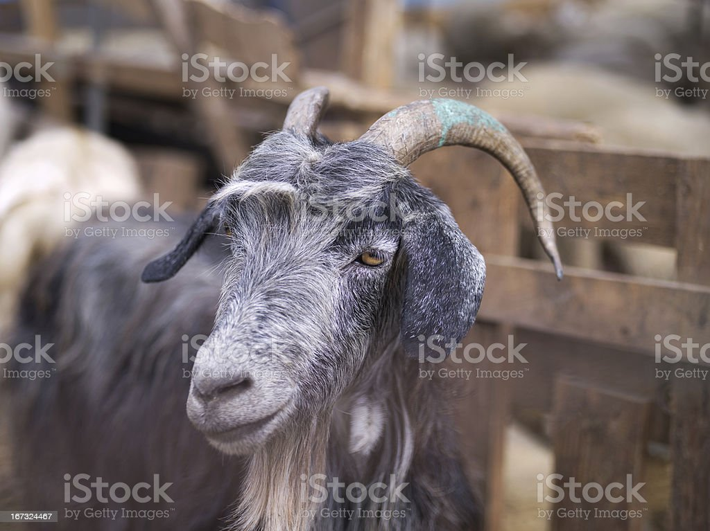 Goats in istanbul Animal Market royalty-free stock photo