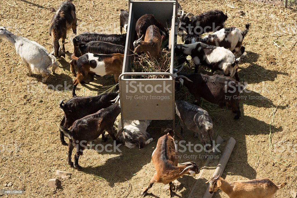 Goats in La Gomera stock photo