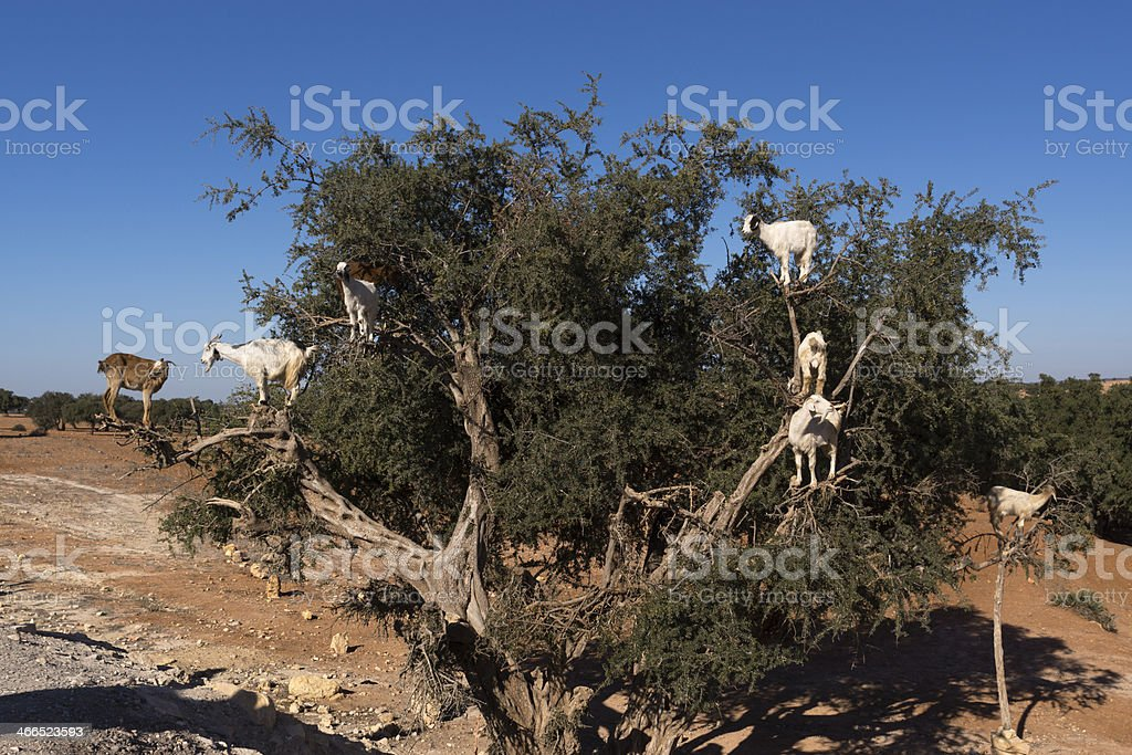 Goats in Moroccan tree royalty-free stock photo