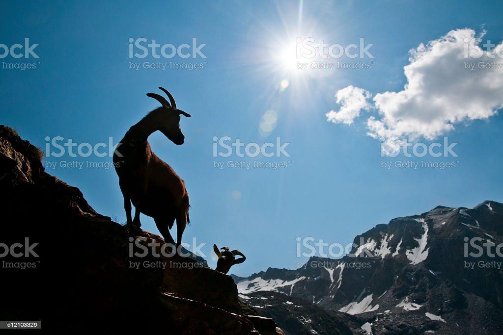 Goats in mountain stock photo