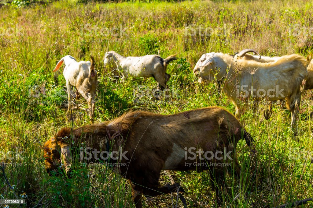 Goats in natural background stock photo