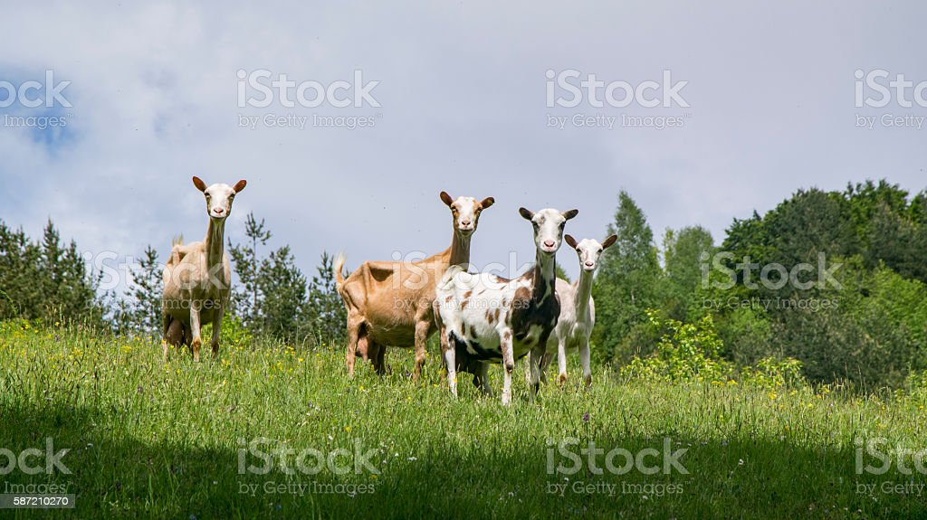 Goats in nature. stock photo