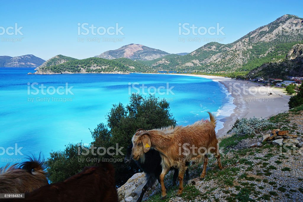 Goats in Oludeniz. stock photo