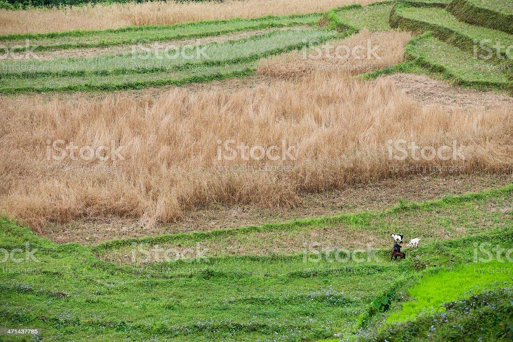 Goats in Rice Fields Gangtok Sikkim India stock photo