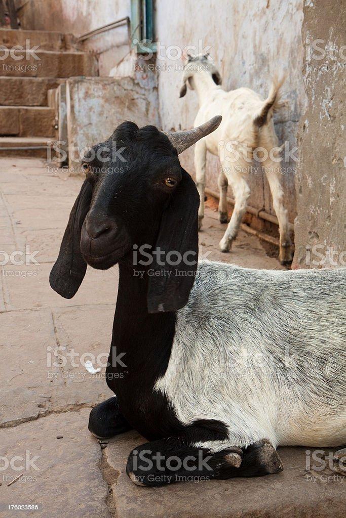 Goats in Varanasi royalty-free stock photo