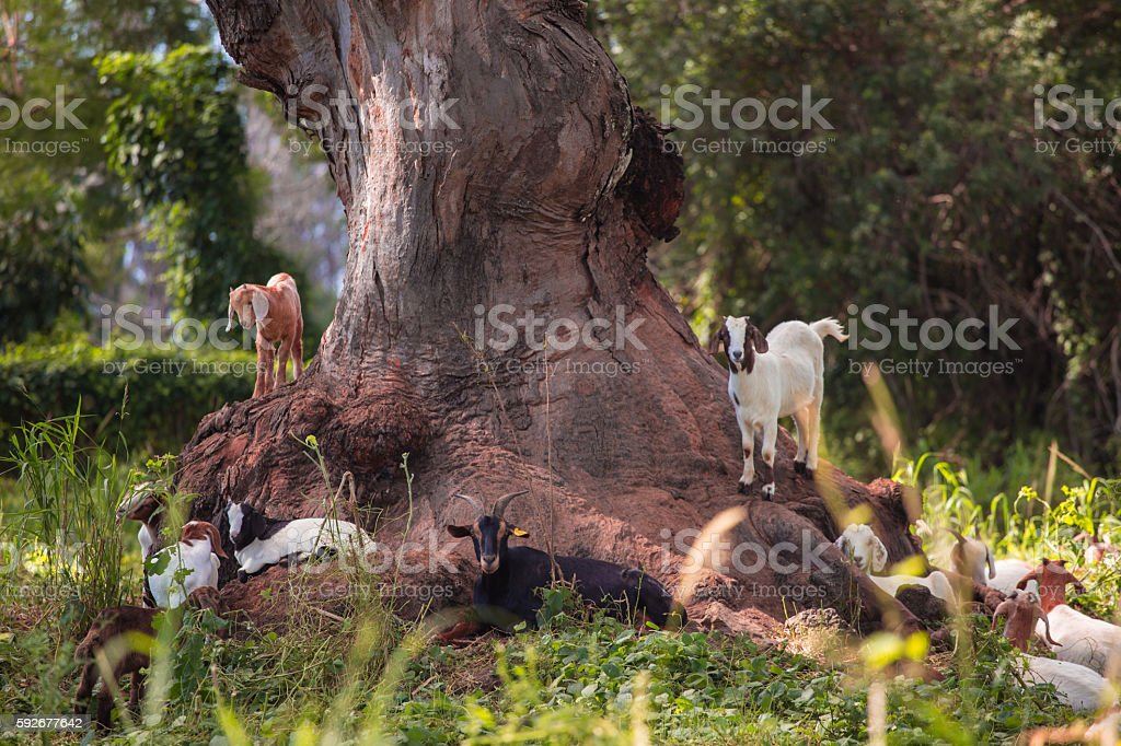Goats on a grassy area stock photo