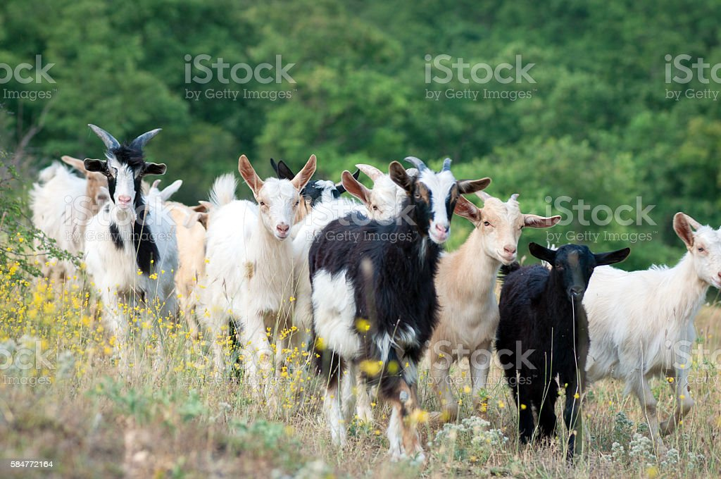 Goats on a summer pasture stock photo