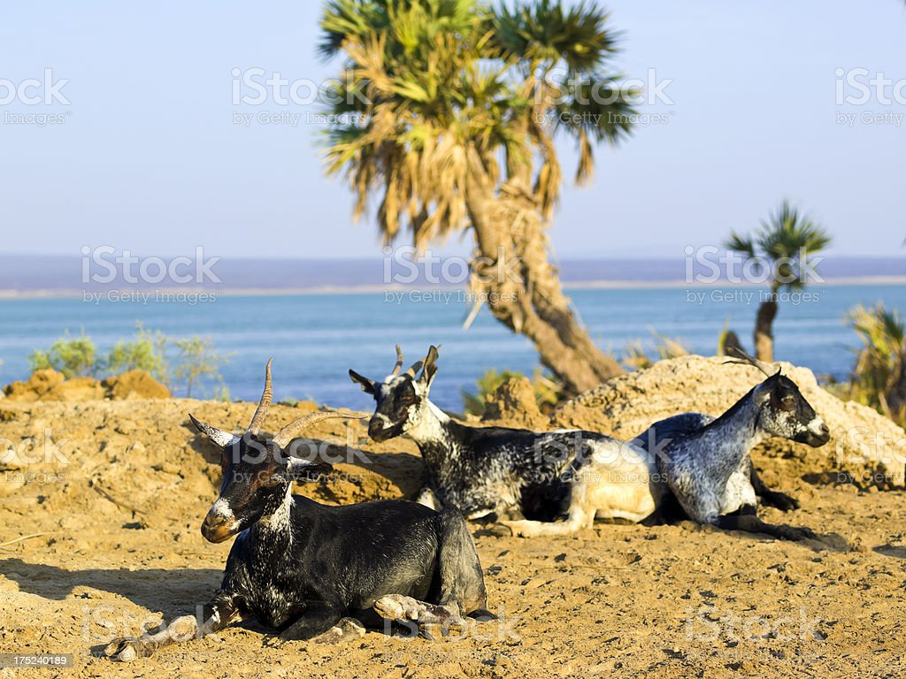 Goats on sun stock photo