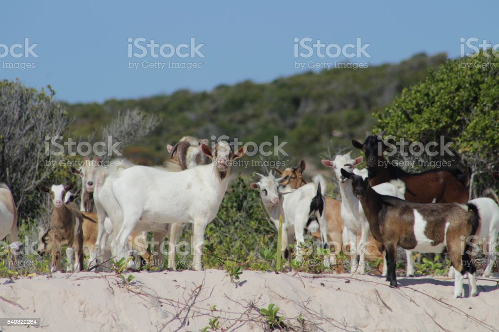 Goats on the beach stock photo