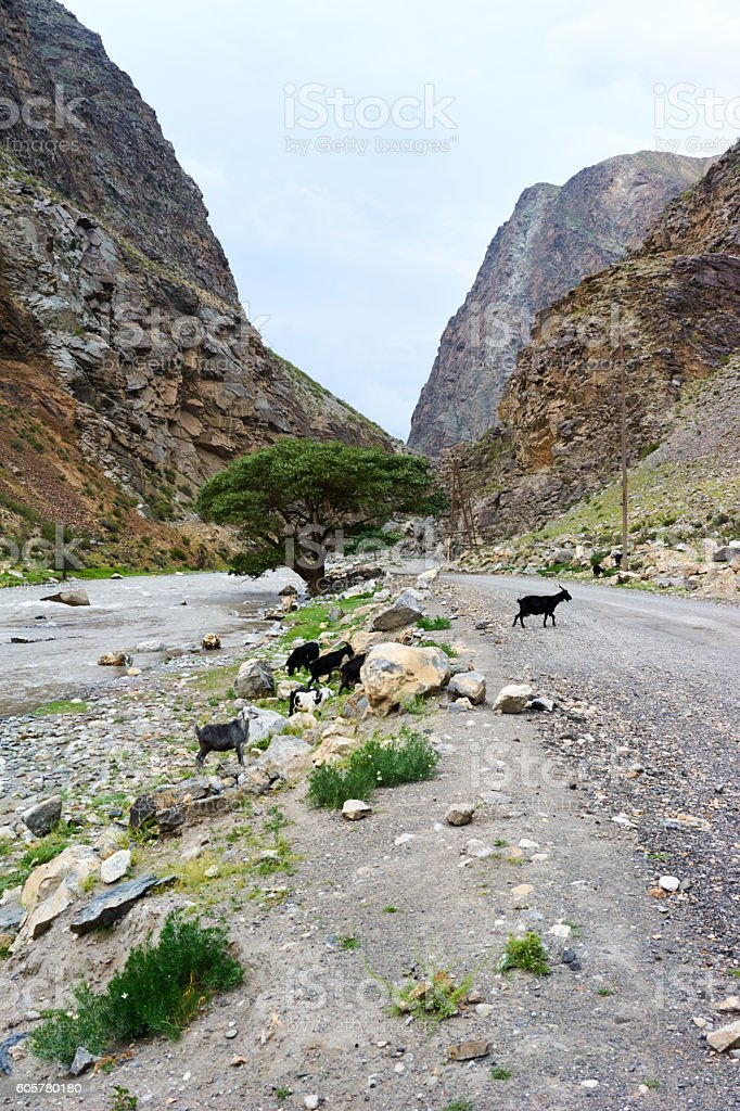 Goats on the mountain road stock photo