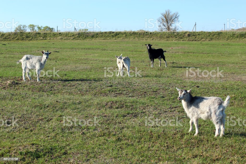 goats on the pasture stock photo