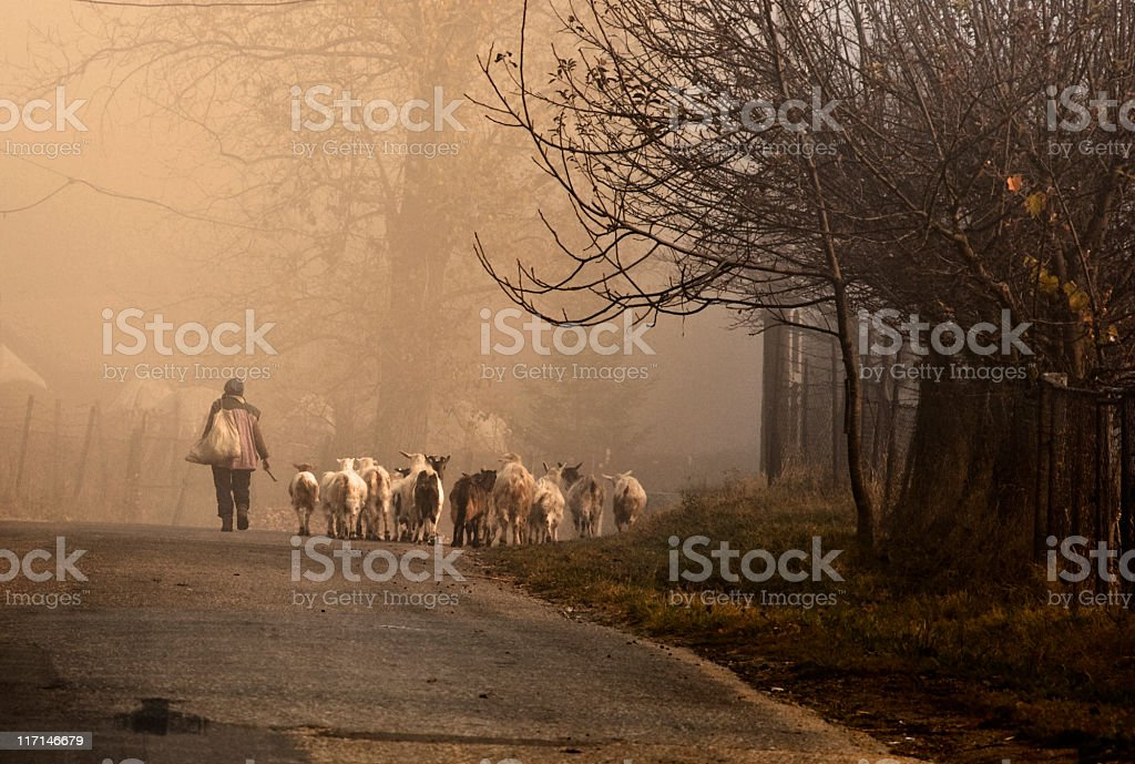 goats on the road stock photo