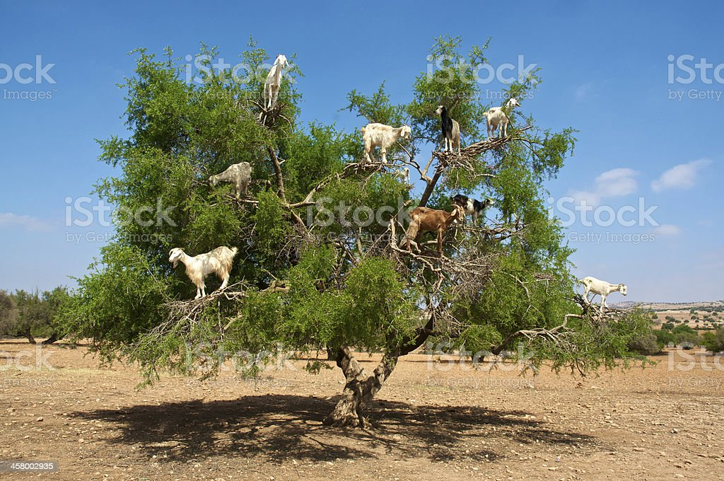 Goats on tree eating argan, in Marocco stock photo