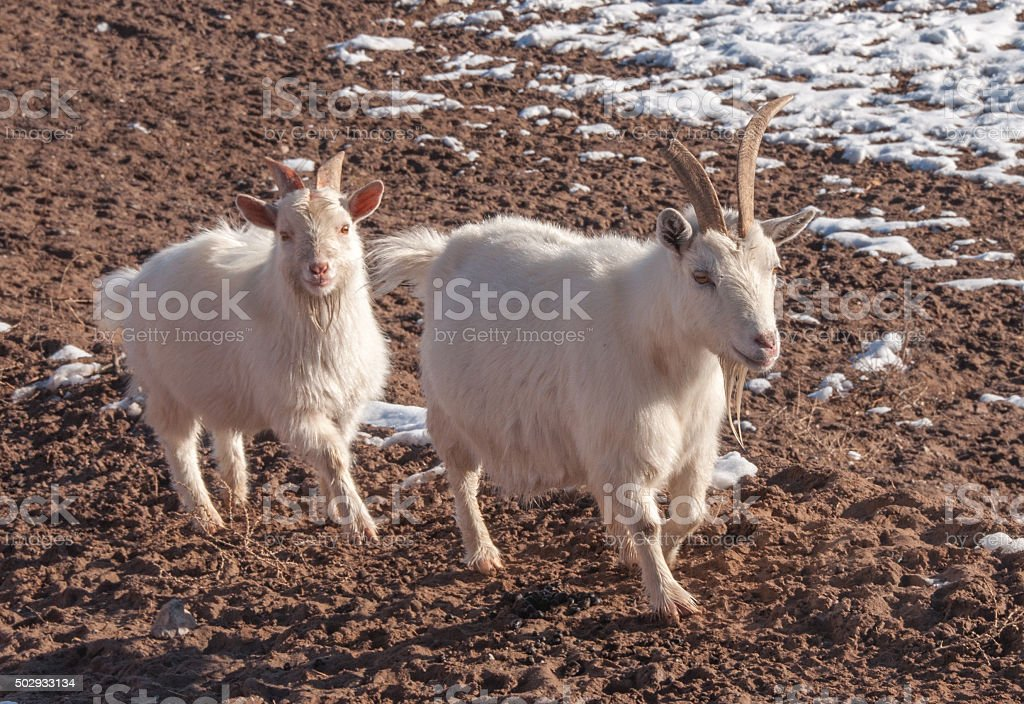 Goats on Weed Patrol for City of Las Cruces stock photo