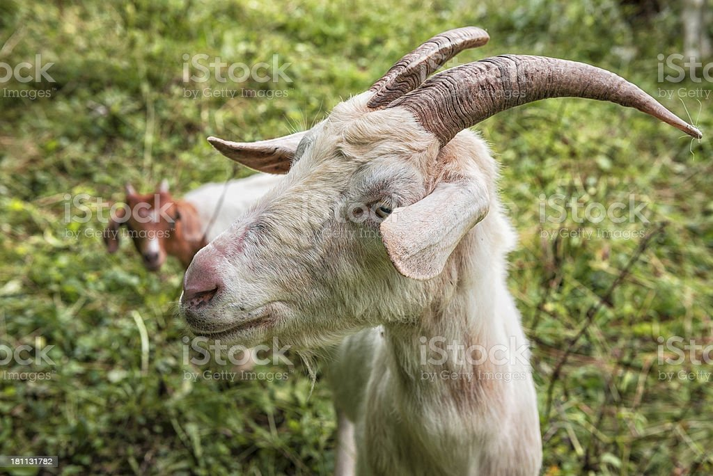 Goats royalty-free stock photo