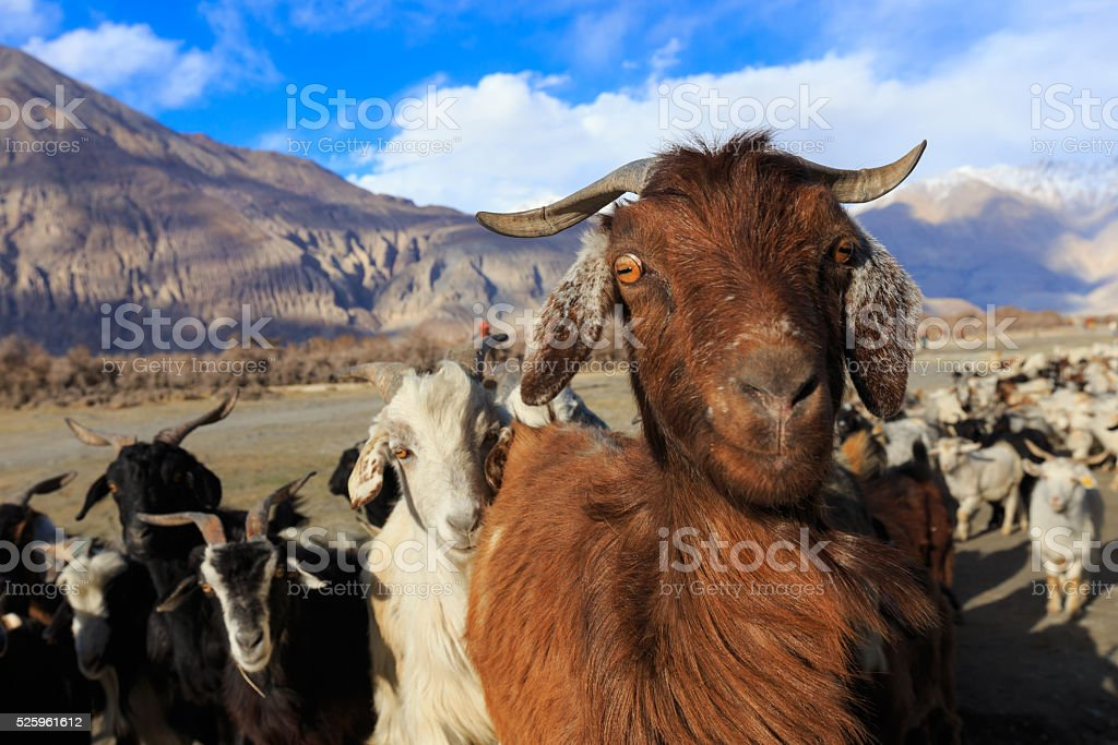 Goats stock photo