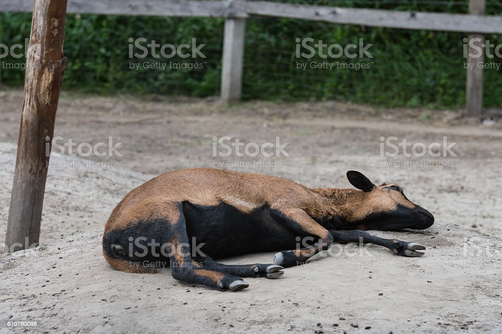 Goats. stock photo