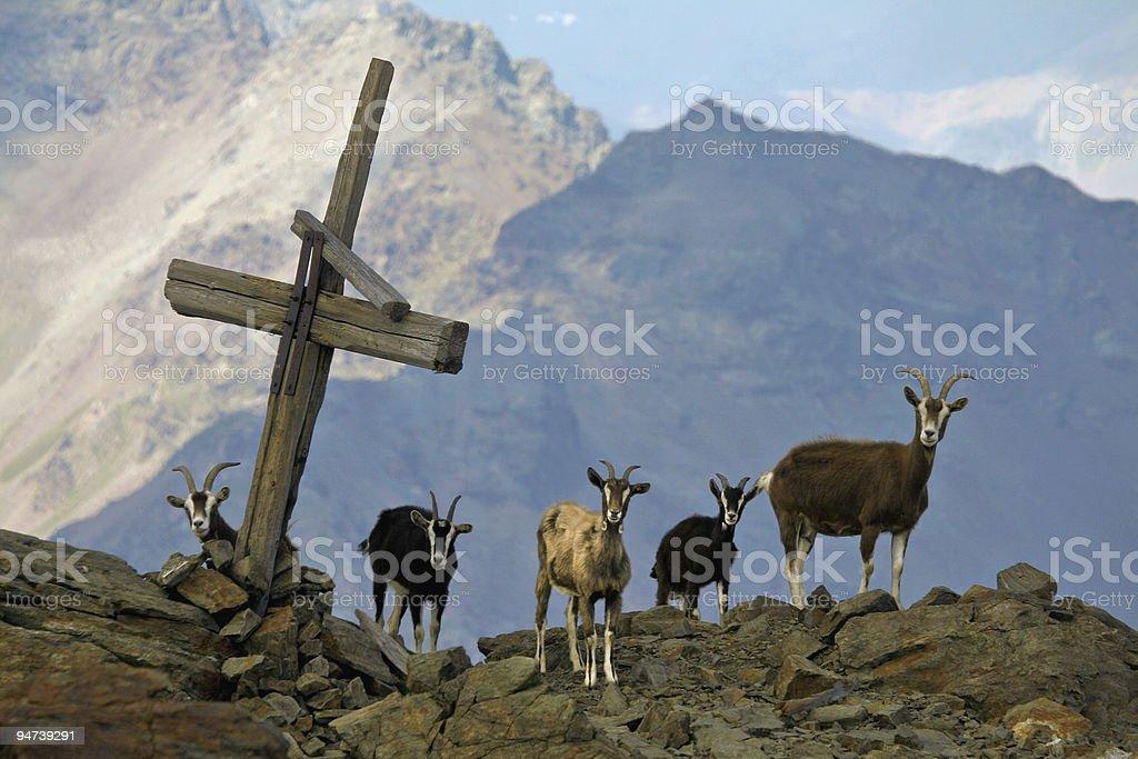 Goats royalty-free stock photo