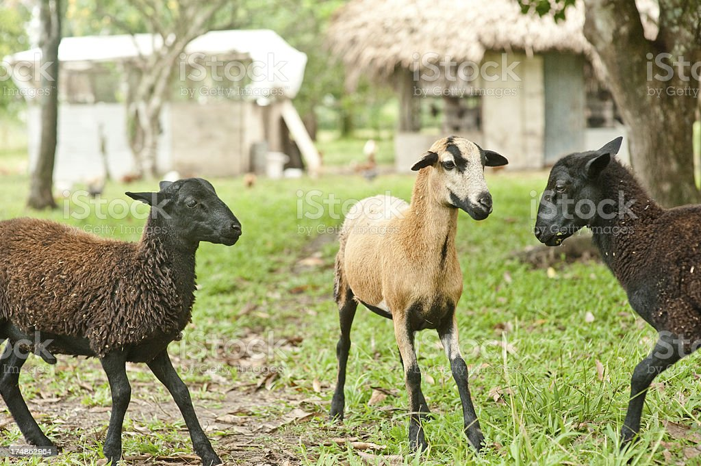 Goats playing royalty-free stock photo