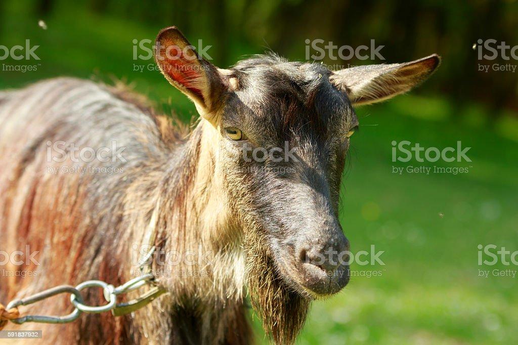 Goat's Portrait stock photo