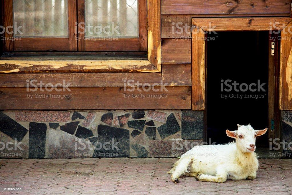 goats resting before farmhouse stock photo