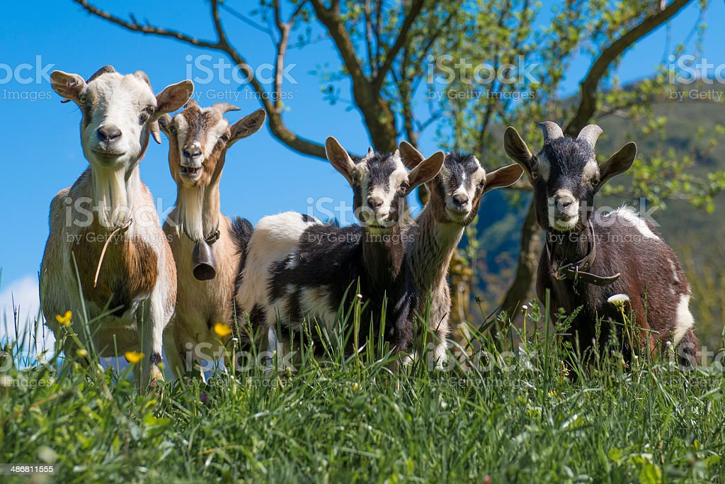Goats that look at you stock photo