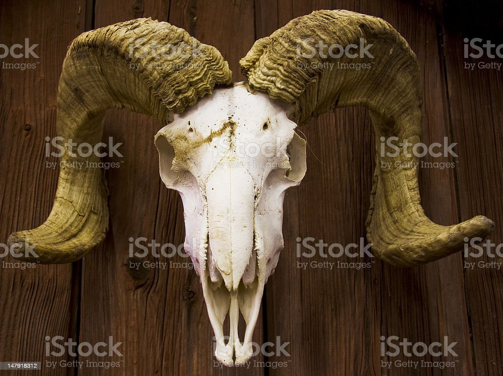 Goatskull stock photo