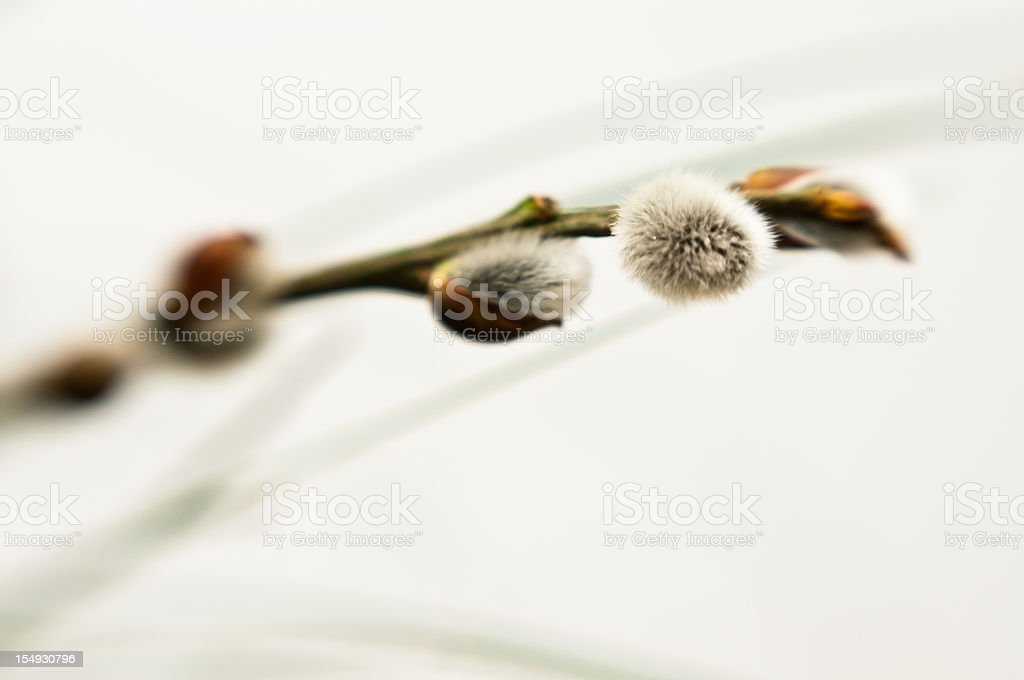 Goat-Willow, known as the Pussy Willow or Great Sallow stock photo