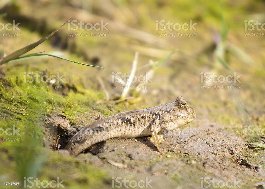 Gobiidae stock photo